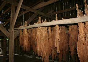 burley tobacco air-curing in barn