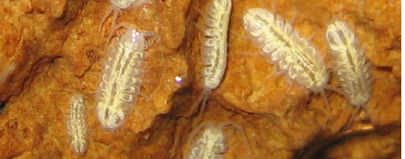 Lee County isopods, unpigmented and eyeless