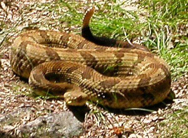 rattler on Warspur Trail in Giles County, July 2002