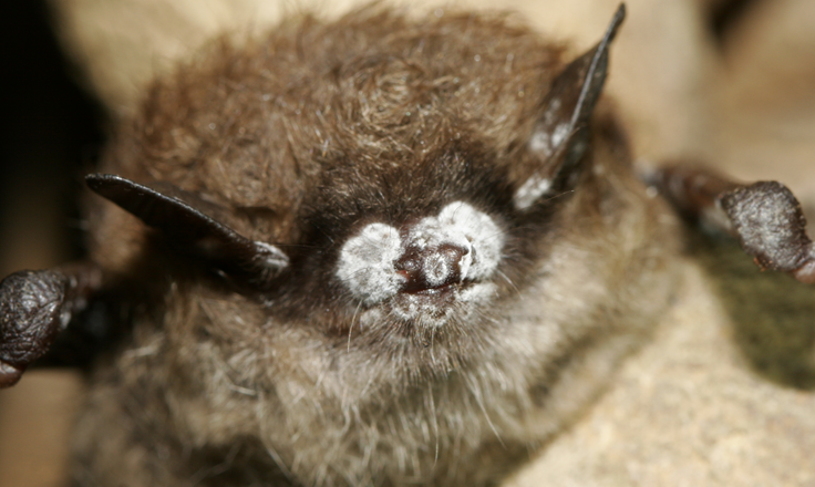 white nose syndrome in bats essay A brown bat in a cave in vermont with white-nose syndrome  knowledge  include a northern research station summary national interagency.